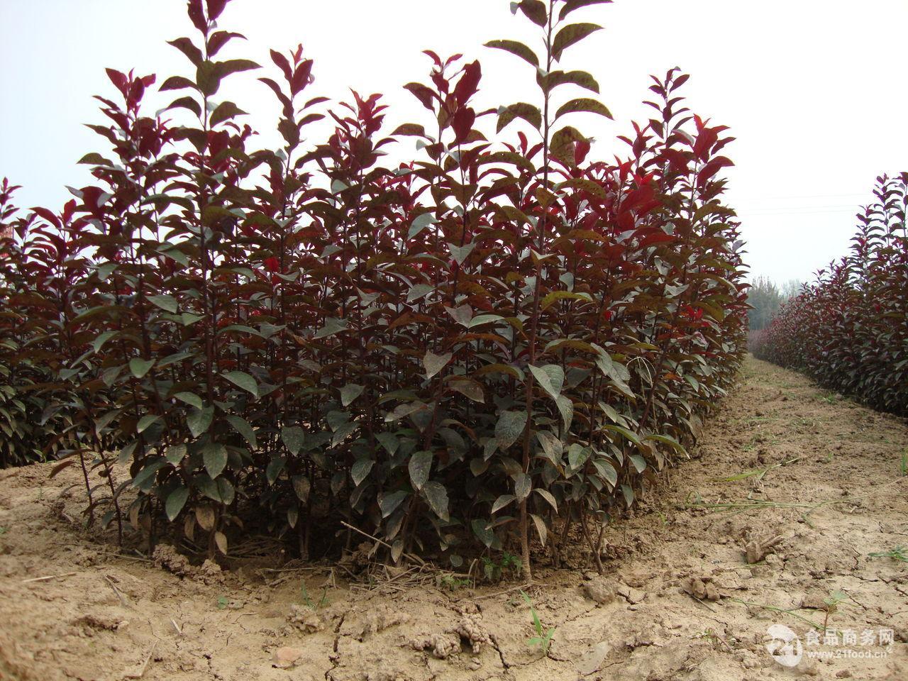 10-30公分皂角树 3-15公分山杏树      3-15公分桃树 2-10公分杨树 2
