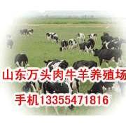 10头肉牛母牛苗多少钱