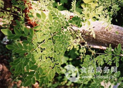 辣木叶粉_印度_青润_植物提取物-食品商务网