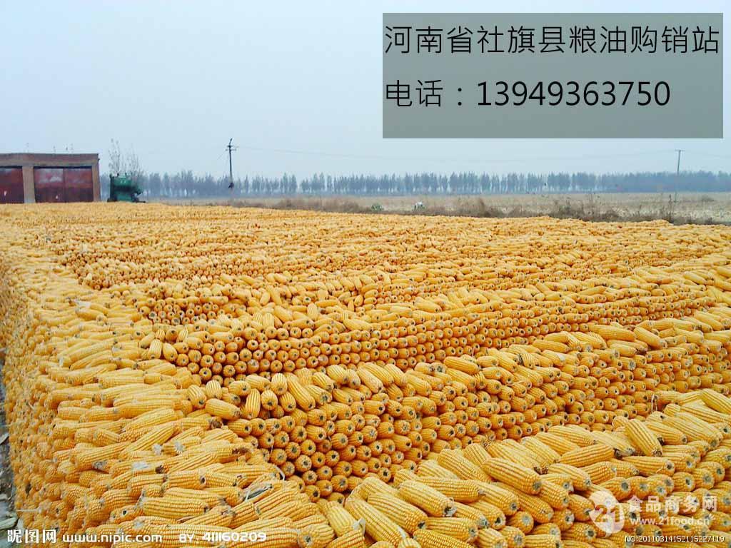 黄玉米_河南南阳__玉米类-食品商务网