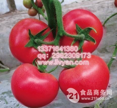 金刚钻番茄种子