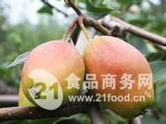 最新陕西红香酥梨大量上市价格走势