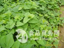 红薯苗批发 优质脱毒 提供技术服务 可回收代储销售