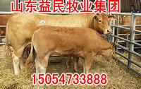 鲁西黄牛种牛价格