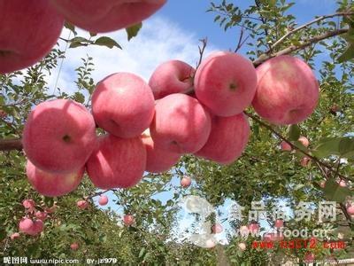 红富士苹果 红富士苹果产地价格