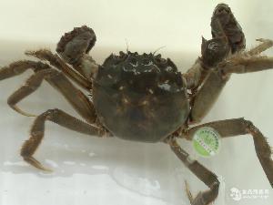 苏红大闸蟹2
