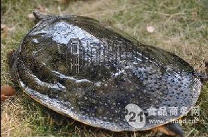 惠州生态甲鱼批发价格