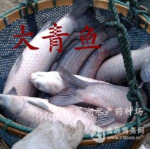 (绿色商品)青鱼供应