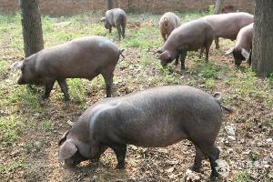 南亩农场黑猪肉