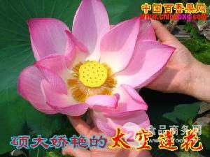 白莲品种 太空莲第一代纯藕