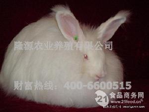安哥拉长毛兔种兔