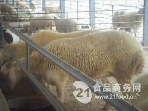 小尾寒羊成年羊