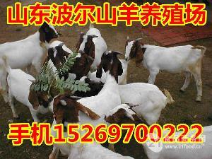 波尔山羊种羊