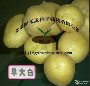 早大白土豆种子