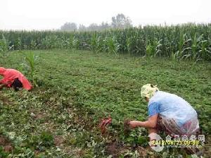 草莓进口种苗 三叶一芯