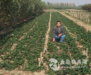 草莓价格,草莓苗供应,泰安 的供应基地