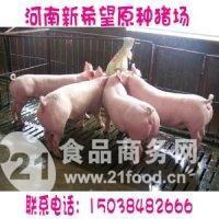 二元杂母猪