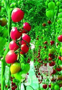 高抗TY病毒千禧类型小番茄-千粉1106 F1