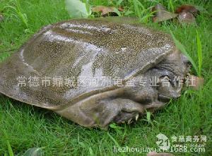 河洲仿野生甲魚