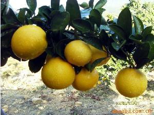 孕妇的*水果-甜桔柚 富含大量的叶酸