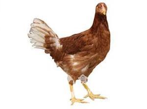蛋鸡青年鸡
