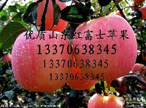 山东苹果产地的优质红富士苹果大量上市