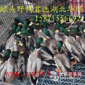 绿壳蛋鸡,鸭。厂家直销,价格优惠,成活率高