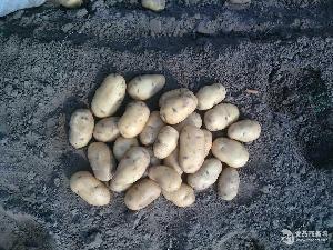 2015土豆种子