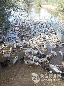 湖北蕲春农家散养老鸭子土鸭子大别山特产