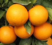 湖北宜昌脐橙/湖北宜昌脐橙秭归盛产