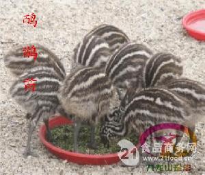 广东鸸鹋苗成本价出售中