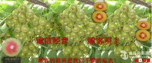 红心(阳)猕猴桃苗木