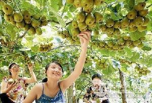 高品质猕猴桃果树苗木