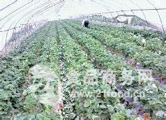 新鲜草莓上市了