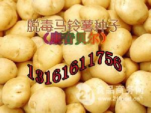 康音贝尔营养型土豆种子