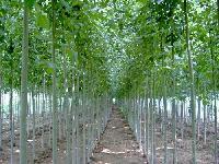1至6公分各种法桐树苗