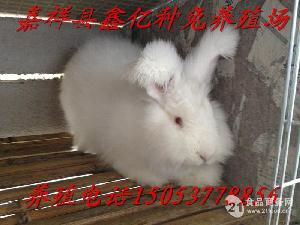 德系安哥拉长毛兔种兔巨型长毛兔