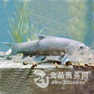 供应 青鱼 规格5-8-15斤