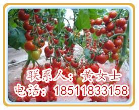 进口小西红柿种子