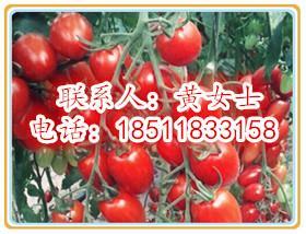 高产小西红柿种子
