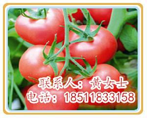 抗TY大红果西红柿种子