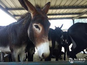 济宁肉驴养殖基地