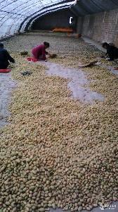 好土豆种子