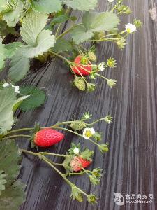 西安奶油草莓