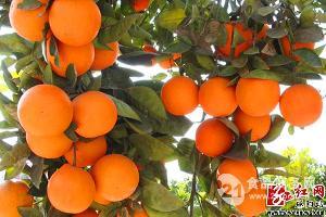 怀化柑橘价格报价批发