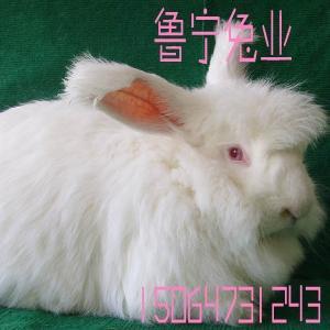 居高系长毛兔种兔价格
