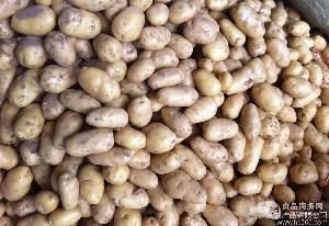优质马铃薯种子