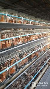 专业供应60日青年鸡 品种纯正免疫强海兰褐蛋鸡青年鸡