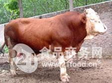 西门塔尔牛牛犊