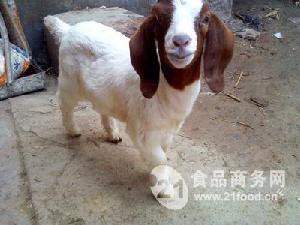 简阳大耳羊